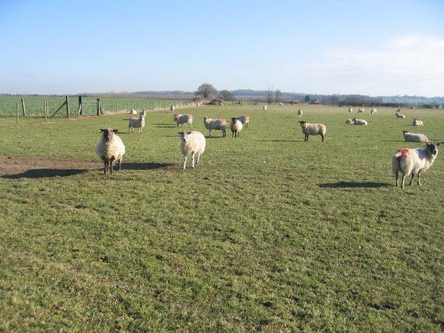 Sheep at Heath Farm