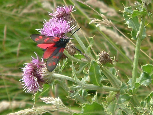 Six Spot Burnet Moth, Dunstanburgh Castle