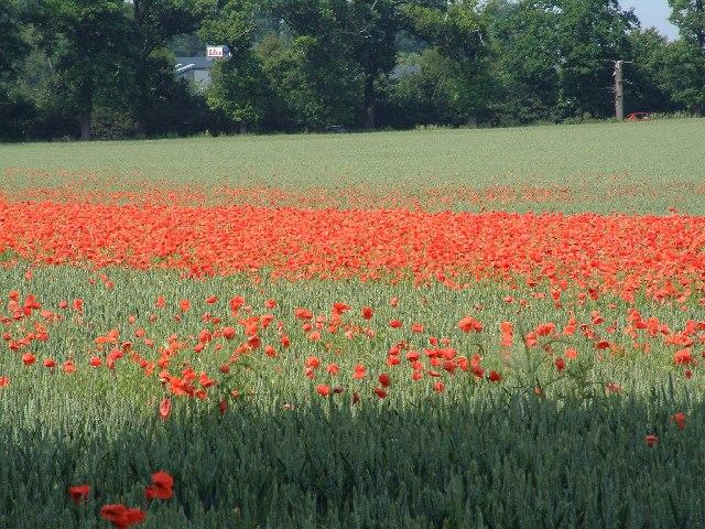 Poppy field at Fornham St Genevieve