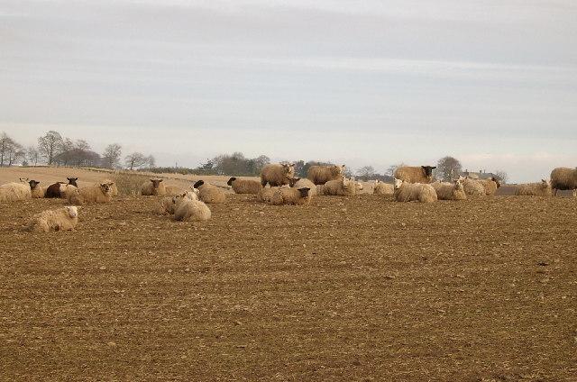 Ewe and ewe and ewe....