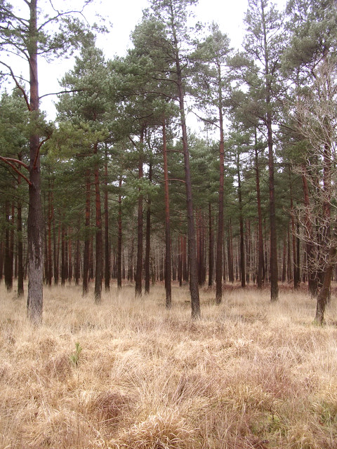 Scots pine in the Parkhill Inclosure, New Forest