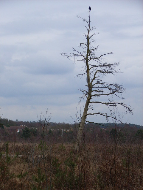 Wildmoor Heath
