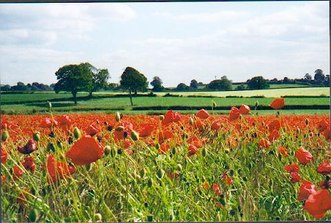Cornfield poppies near Boroughbridge