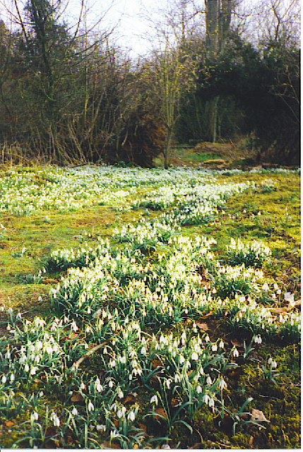 Snowdrops on the Footpath to West Clandon