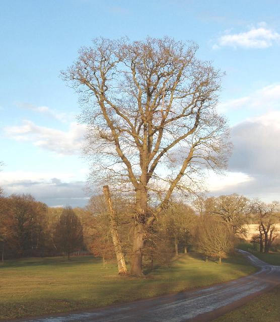 Tree by Duke's Lane, Windsor Great Park