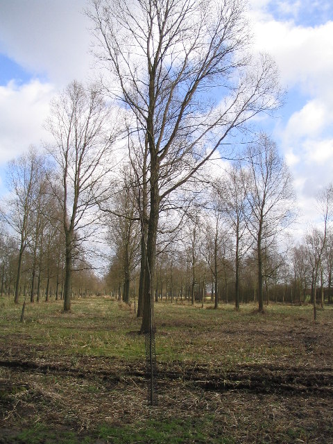 Plantation of Willows