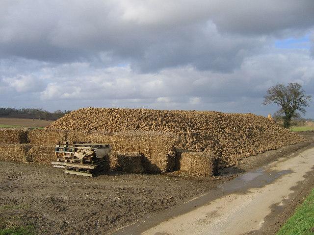 Sugar beet pile on Cross Lane