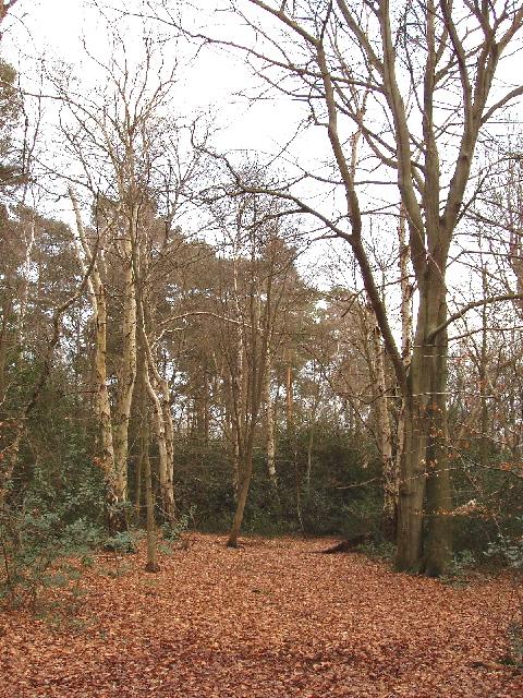 Burnham Beeches - birch, beech and holly