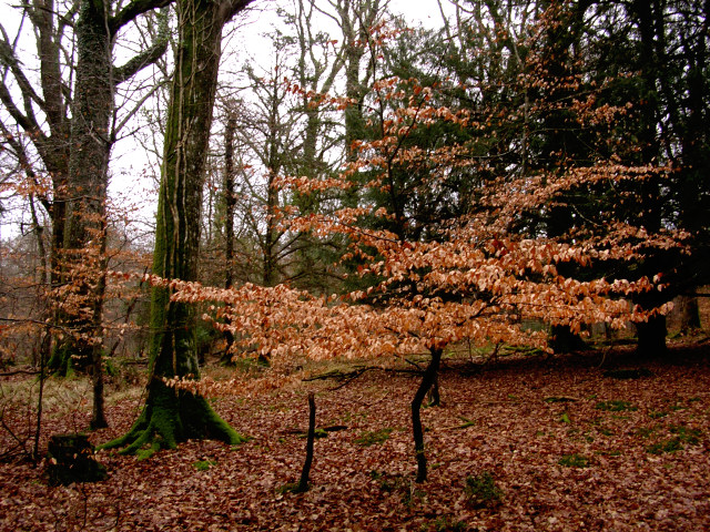Young beech in the Park Ground Inclosure, New Forest