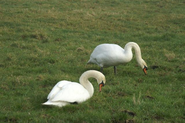 Swans On Tealham Moor