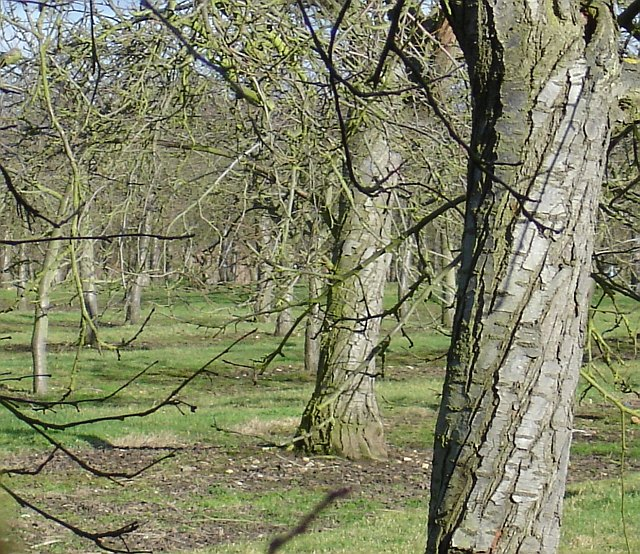 Old cherry orchard