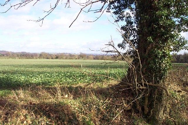 Field of Kale near Morfe Hall Farm
