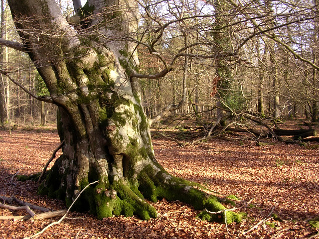 Old beech in the Brick Kiln Inclosure, New Forest
