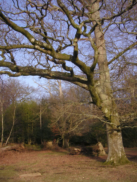 Twisted beech in Gritnam Wood, New Forest