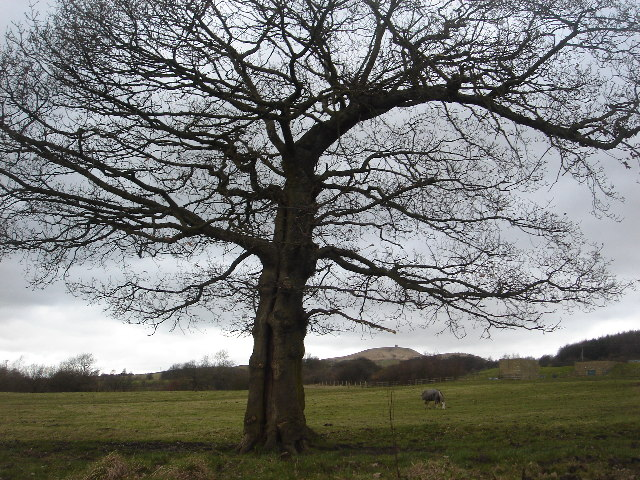 Oak tree near Wilderswood