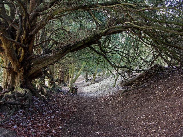 Yew Tunnel, Watlington Hill