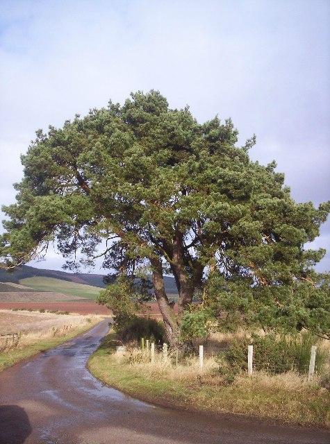 A Lone Scots Pine