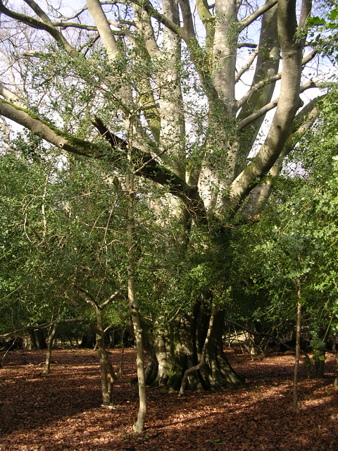 Ancient beech pollard in Queen North Wood, New Forest