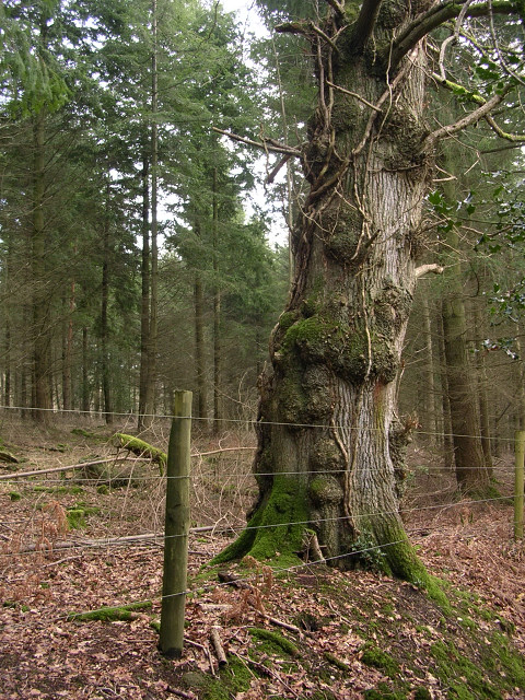 Oak on the boundary of the North Bentley Inclosure, New Forest
