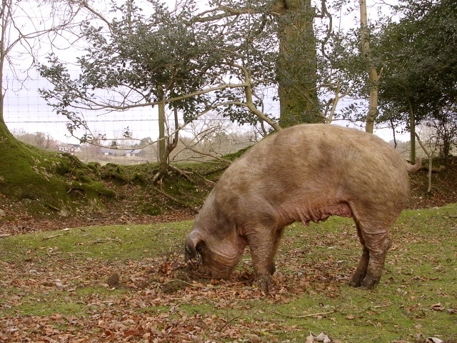 Rooting pig north of the North Bentley Inclosure, New Forest