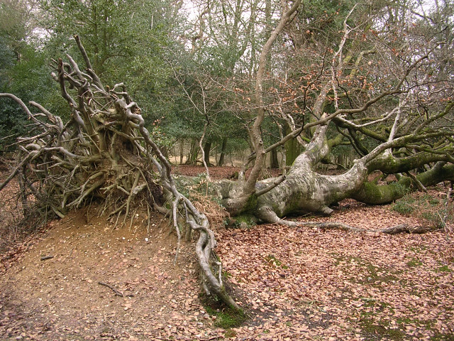 Fallen beech in the Ocknell Inclosure, New Forest
