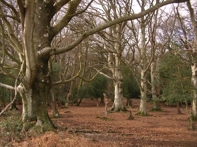 Beeches in the Ocknell Inclosure, New Forest