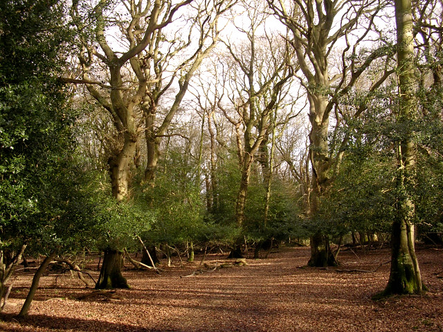 Beech woodland in the Ocknell Inclosure, New Forest