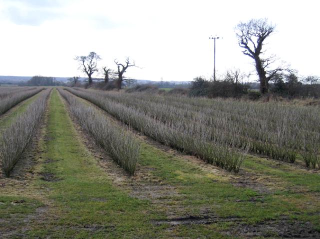Blackcurrant field, Colkirk, Norfolk