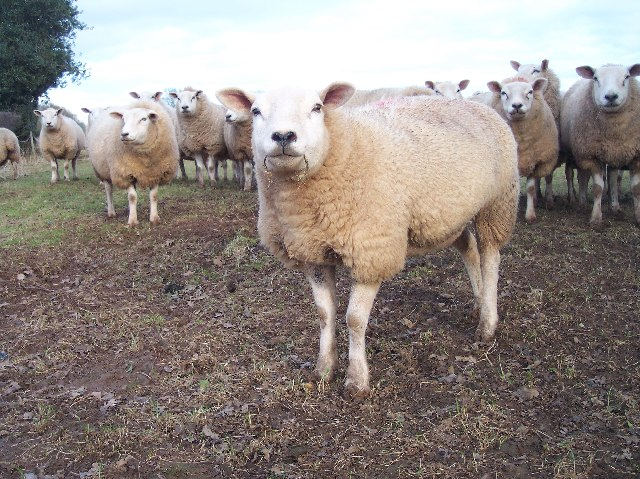 Sheep of Upper Sough