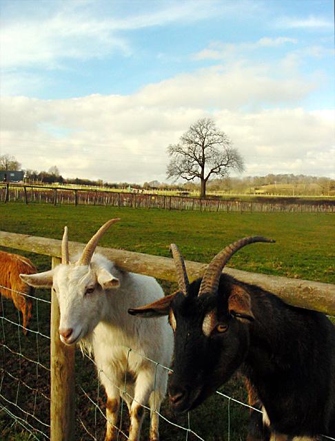 Noah's Ark Zoo Farm - goats