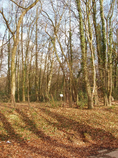 Crosslane Wood by Lodge Lane, near Little Chalfont