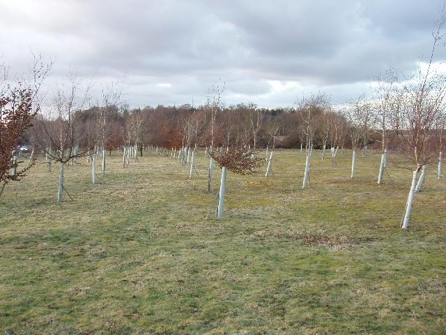 Young trees at North Hill, Chorleywood