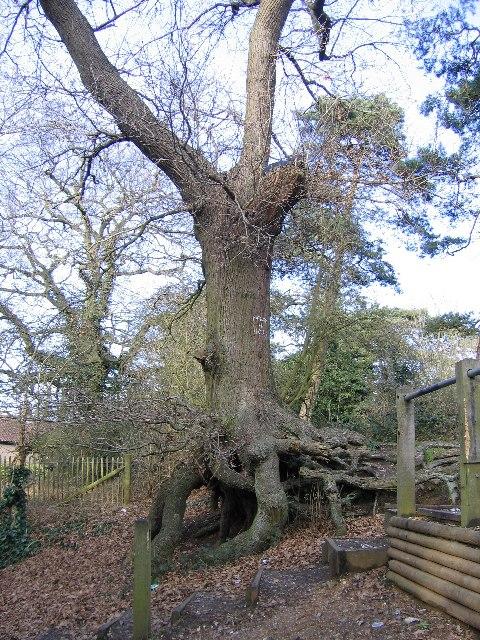 Oak tree in 'The Dell', Framingham Earl