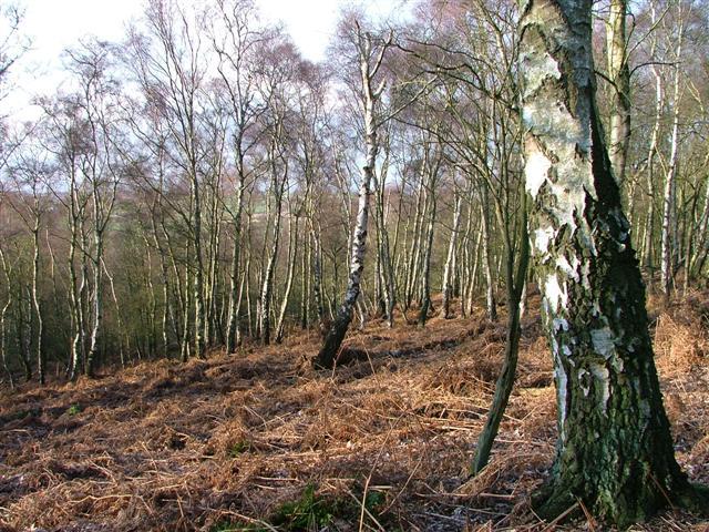 Birch Woodland, Landmoth Wood