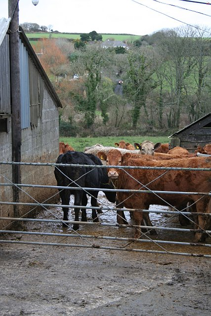 Cows in the Farmyard at Mellangoose
