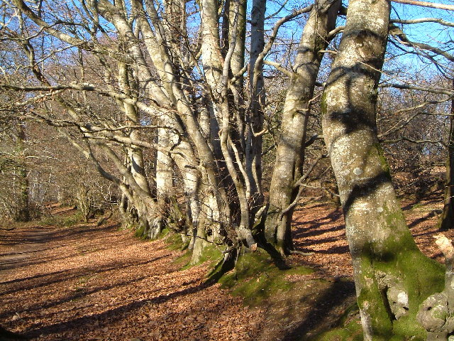 Beech trees, Bearacleave Wood, Bovey Tracey