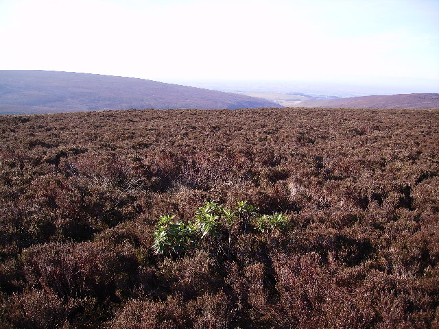 Rhododendron and Heather