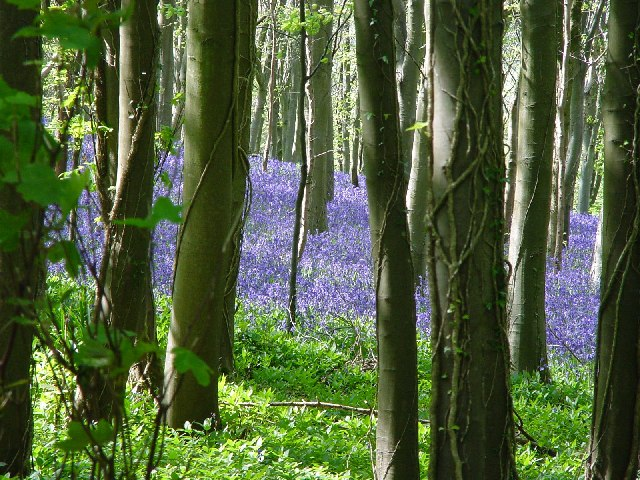 Bluebells at Brenscombe Hill