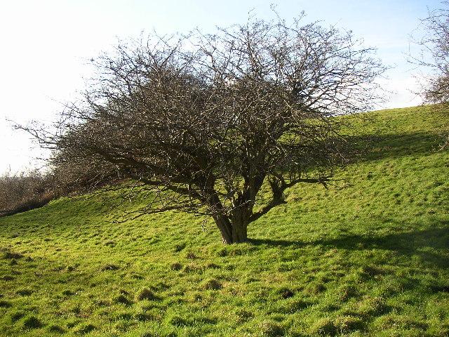 Old hawthorn tree, Parkinhole, Hartshead, Yorkshire