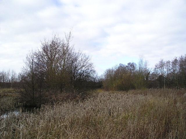 Bulrushes