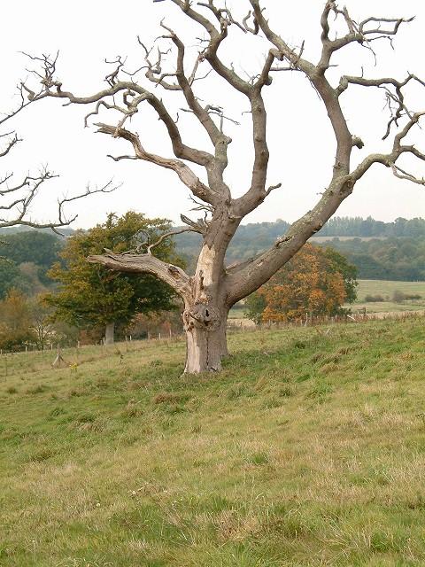 Dead Oak tree at Pestalozzi