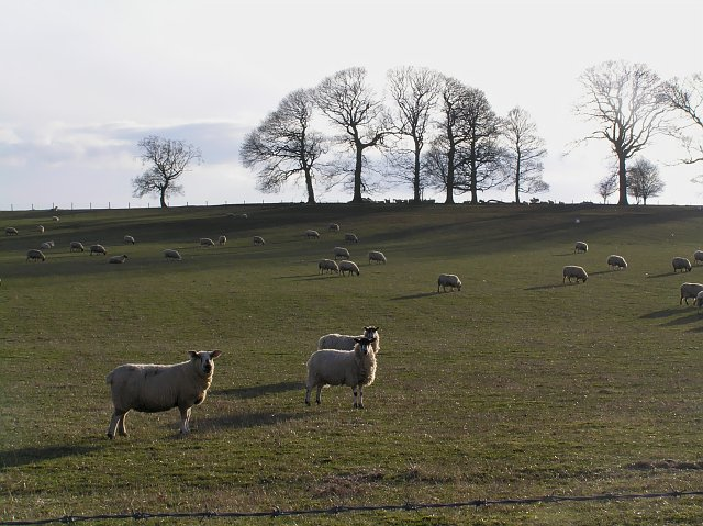 Sheep near Cawthorne