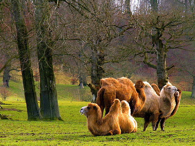 Camels at Longleat