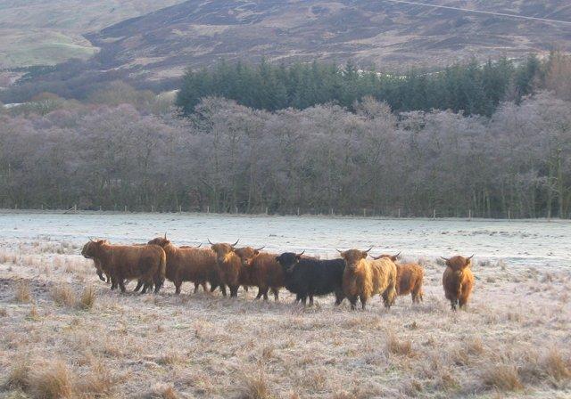 Highland cattle, Castles Farm.