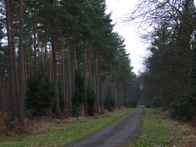 Pine trees, Swinley Park