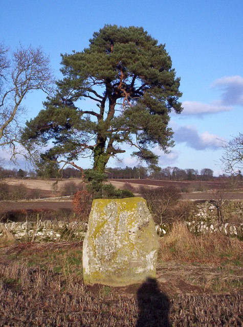 Westerton Standing Stone and Scots Pine
