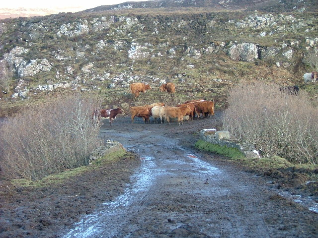 Cattle on the Old Road