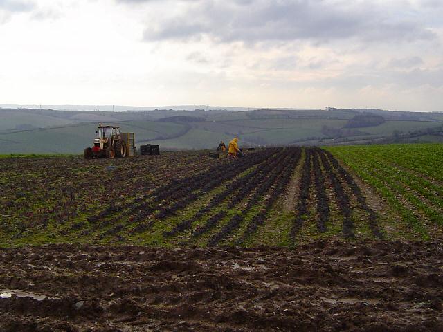 Picking vegetables near Buckfastleigh