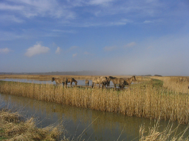 Marsh Ponies at Minsmere