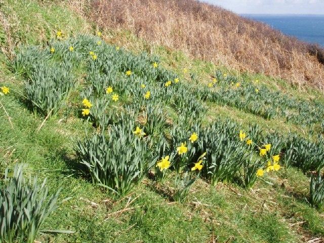 Daffodils near Dorminack